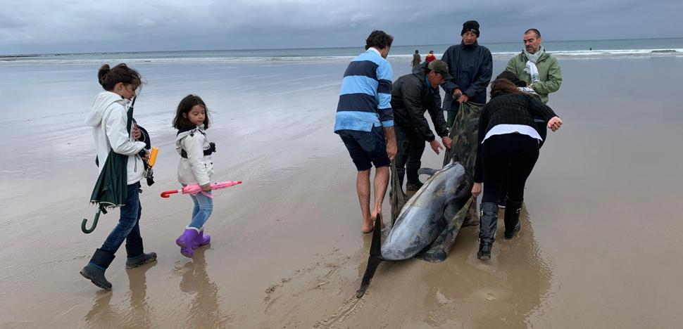 Aparecen 17 delfines varados en Oyambre, de los que catorce están muertos