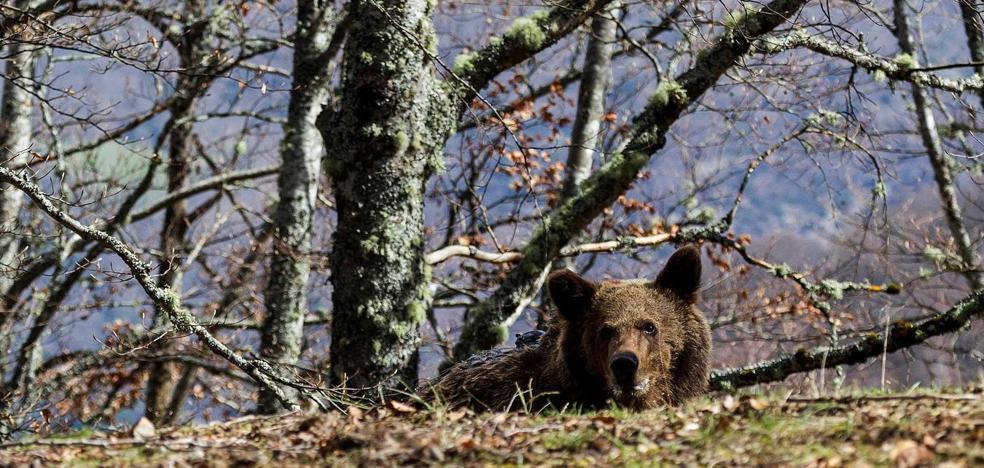 El oso 'Beato', que ha sido visto en los montes de Liébana, presenta un buen aspecto