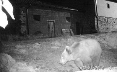 El oso 'Beato' se acerca de nuevo a las casas y la FOP pide «actuar a tiempo»