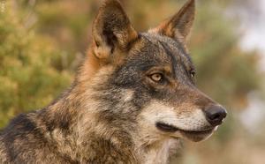 Ecologistas en Acción recurrirán ante el Supremo la sentencia que avala la caza del lobo en Cantabria