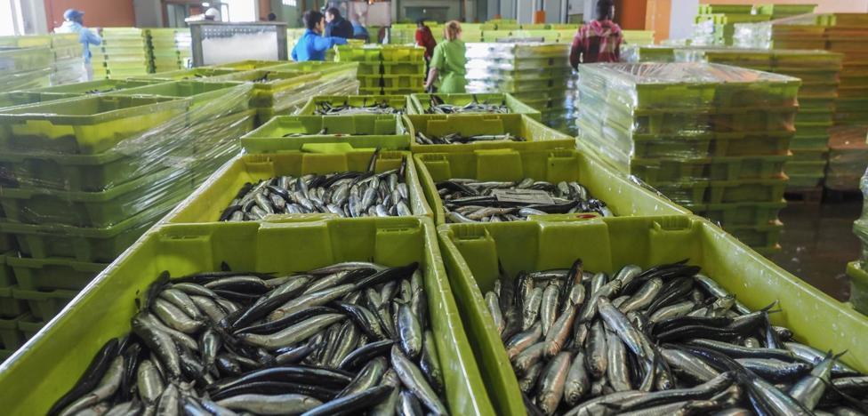 Las lonjas de Cantabria subastaron ayer más de 850.000 kilos de bocarte de gran tamaño