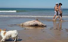 Aparece otro delfín muerto en la playa de Oyambre