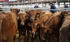 Unos 300 animales participarán en la Feria de Razas Cárnicas de Torrelavega
