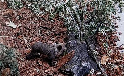 La osezna encontrada en Asturias y trasladada a Cantabria ya corretea, juega y busca el alimento
