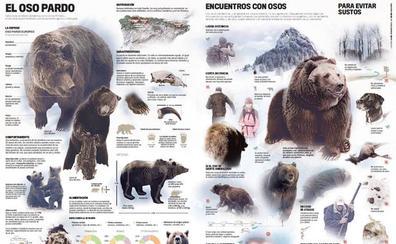 Una lámina para conocer al oso pardo