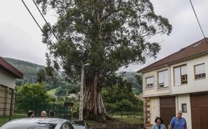 El único árbol singular del municipio amenaza con secarse tras 130 años