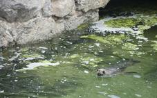 «Sobrecarga de algas» en el minizoo de la Magdalena