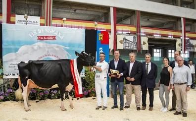 La vaca Llinde Ariel Jorda, gran campeona del Concurso de Ganado Frisón de Torrelavega