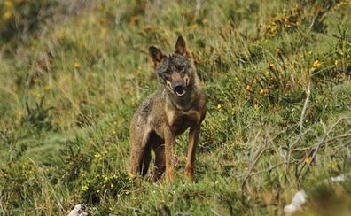 El Gobierno autoriza a cazar hasta julio de 2020 a 34 de los 171 lobos censados