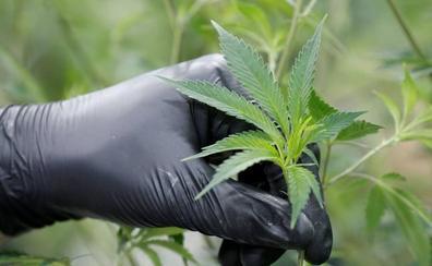 Desmantelada una plantación de marihuana en Entrambasagas con más de 400 plantas