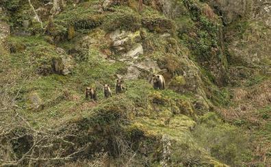 La población de oso pardo se recupera y alcanza los 350 ejemplares en toda la cordillera