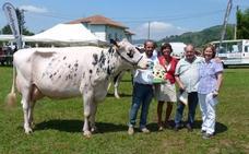 Buen ganado frisón en el Concurso Valle de Carriedo