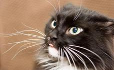 La importancia de los bigotes en los gatos