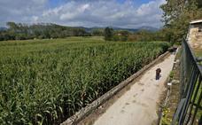 El maíz en Valles Pasiegos