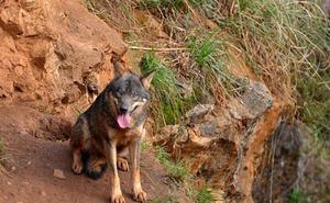 Cerca de 36.000 personas piden al Gobierno de Cantabria que no autorice la caza de 34 lobos en un año