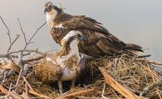 Observación de las águilas pescadoras