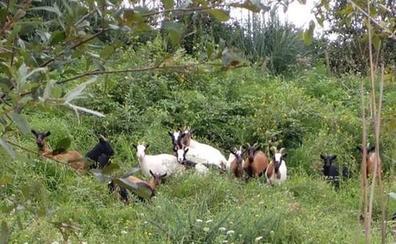 Un rebaño de cabras colabora en el mantenimiento de los espacios naturales de Astillero