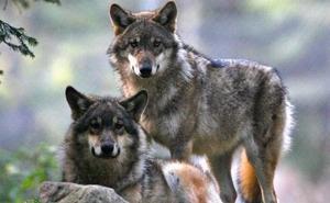 La Asociación para la Conservación del Lobo recurre ante el Tribunal Superior el plan cántabro de gestión de la especie
