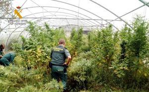 Localizan una plantación de marihuana en un invernadero de tomates en Corvera de Toranzo