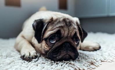 Las mascotas también sufren depresión postvacacional