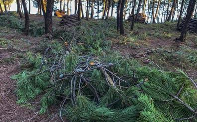 Medio Ambiente realiza una tala controlada en el pinar del Parque de las Dunas de Liencres