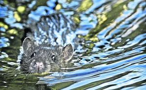 Cabezón controla las plagas de ratas