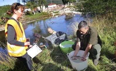Aparecen ejemplares de pez lobo de río en el Saja, una especie inédita en la zona