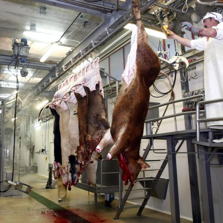 El matadero municipal de Barreda reabrirá esta semana la línea de sacrificio de porcino