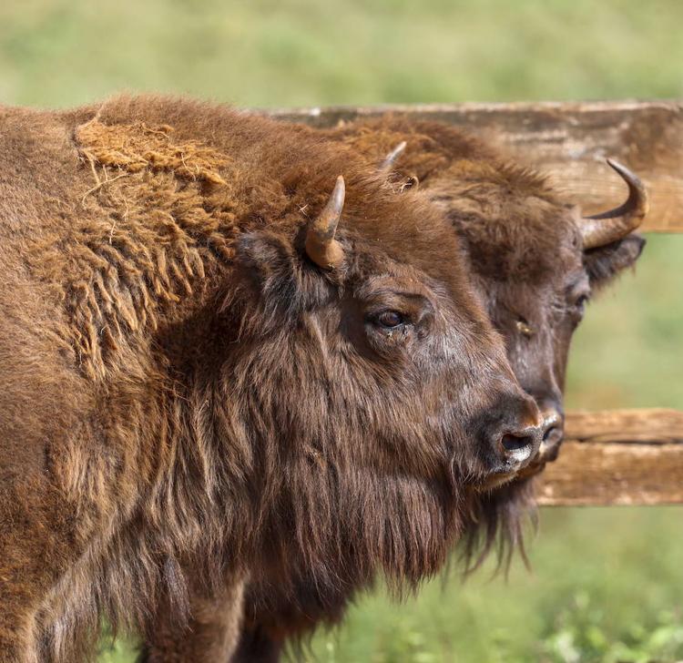 Cabárceno incorpora a su manada dos bisontes procedentes de Polonia
