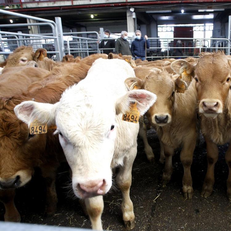 Comienza en Castro la Campaña de Saneamiento para ganado bovino
