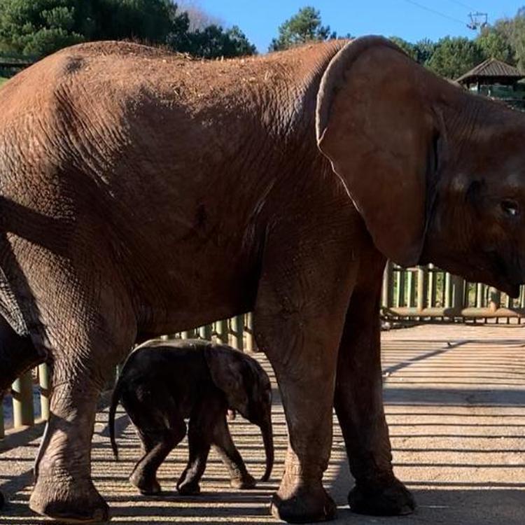El nuevo elefante de Cabárceno se llamará 'Neco'