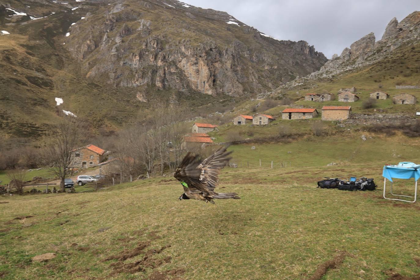 'Aquilón' vuela de nuevo en Picos de Europa