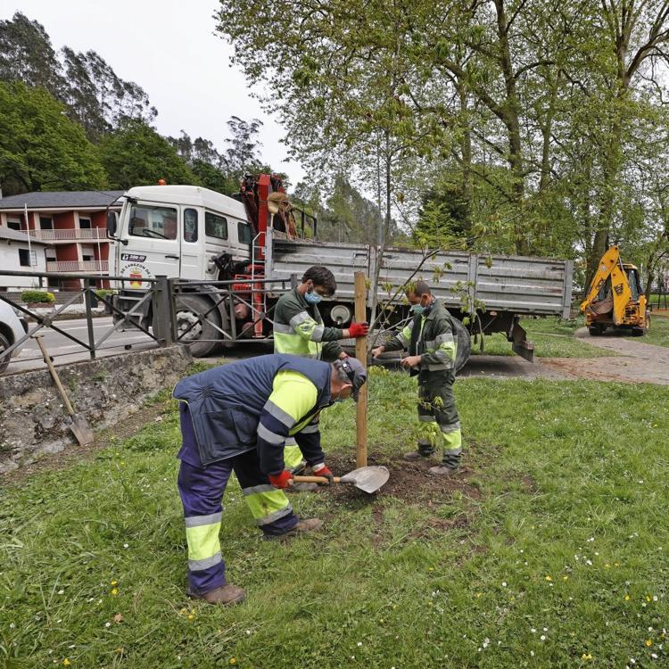 La tala de dos árboles en el parque de La Losa desata la polémica en Cabezón