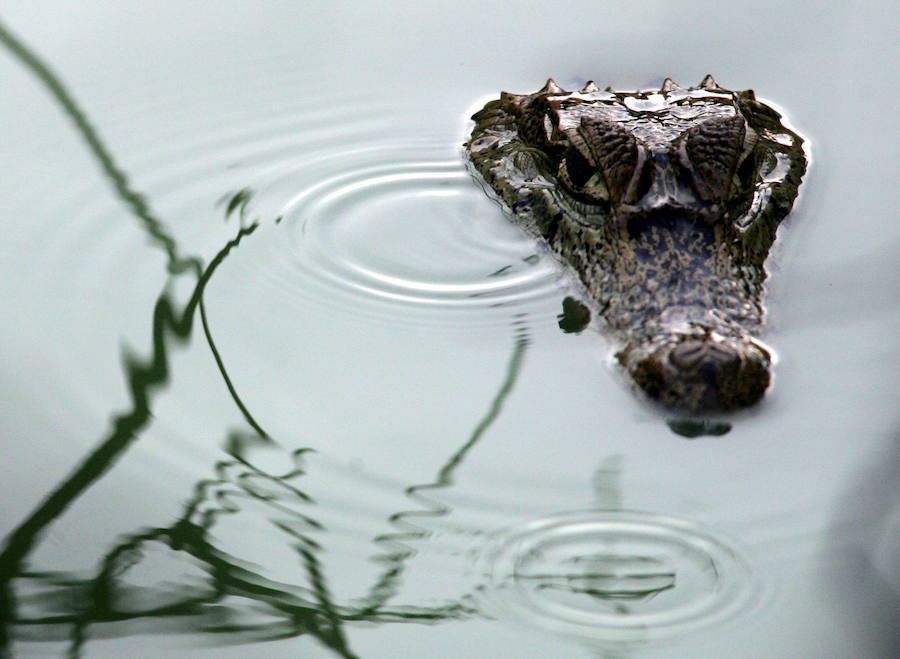 ¿Por qué aumentan los ataques de caimanes en Florida?