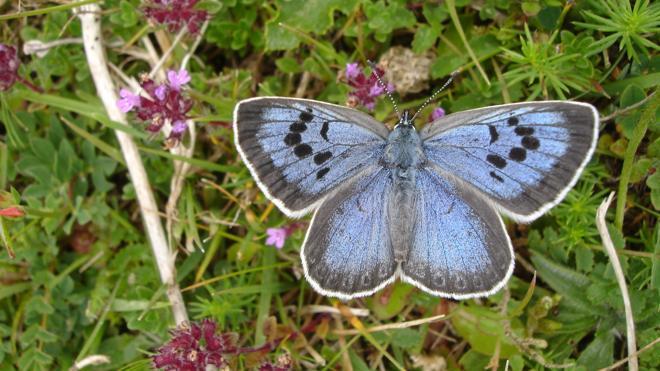 Declaran culpable a un británico por matar a dos mariposas protegidas