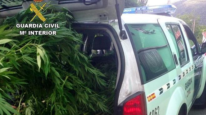Intervienen 120 plantas de marihuana en una huerta de una finca de Vargas
