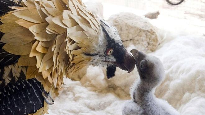 Nacen otros cuatro quebrantahuesos que serán soltados en los Picos de Europa