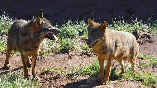 El seguro contra los daños causados por el lobo no satisface a los ganaderos