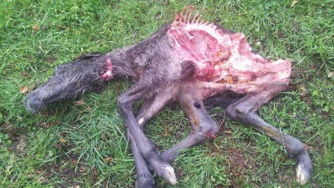 Los lobos vuelven a matar ganado en Camaleño