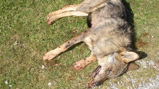 Los grupos ecologistas denuncian la caza de dos lobos en Picos de Europa