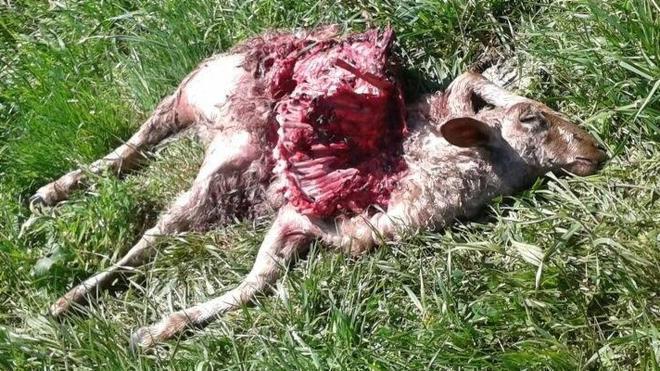 Los lobos atacan de nuevo a dos ovejas en Cieza