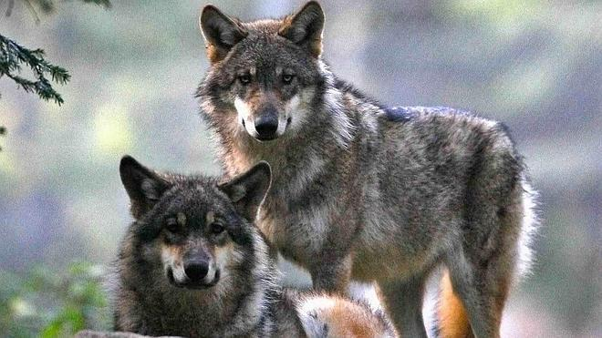 Los conservacionistas piden una mesa de diálogo para frenar los ataques del lobo