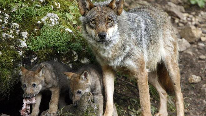 Los conservacionistas dicen que el Gobierno conoce el censo de lobos