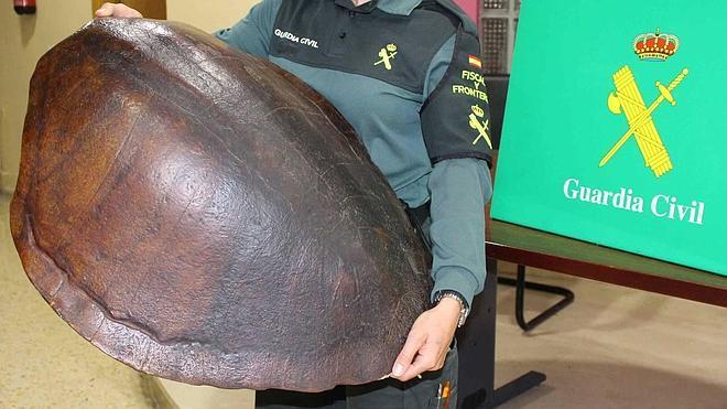 La Guardia Civil requisa en Polanco un caparazón de tortuga marina