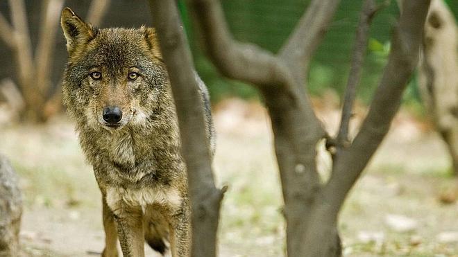 Ni rastro de lobos en Rasines