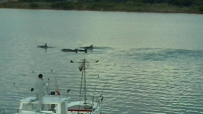 Delfines en las Marismas de Santoña