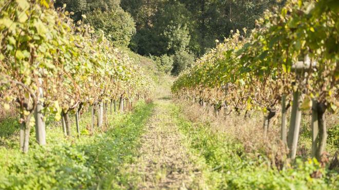Uvas de la Costa de Cantabria