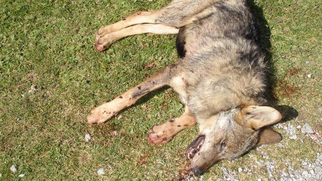 Los ecologistas denuncian que se ha matado el doble de lobos de los que dice el Gobierno