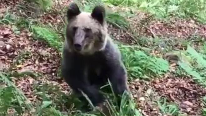 "Cantabria aprobará ""cuanto antes"" un protocolo de actuación con osos que se acercan al hombre"