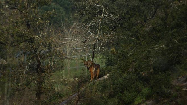Casi mil ganaderos piden que el lobo continúe siendo especie cinegética